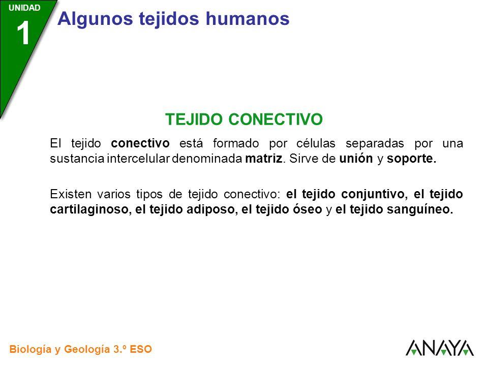 UNIDAD 3 Biología y Geología 3.º ESO UNIDAD 1 Algunos tejidos humanos TEJIDO CONECTIVO El tejido conectivo está formado por células separadas por una