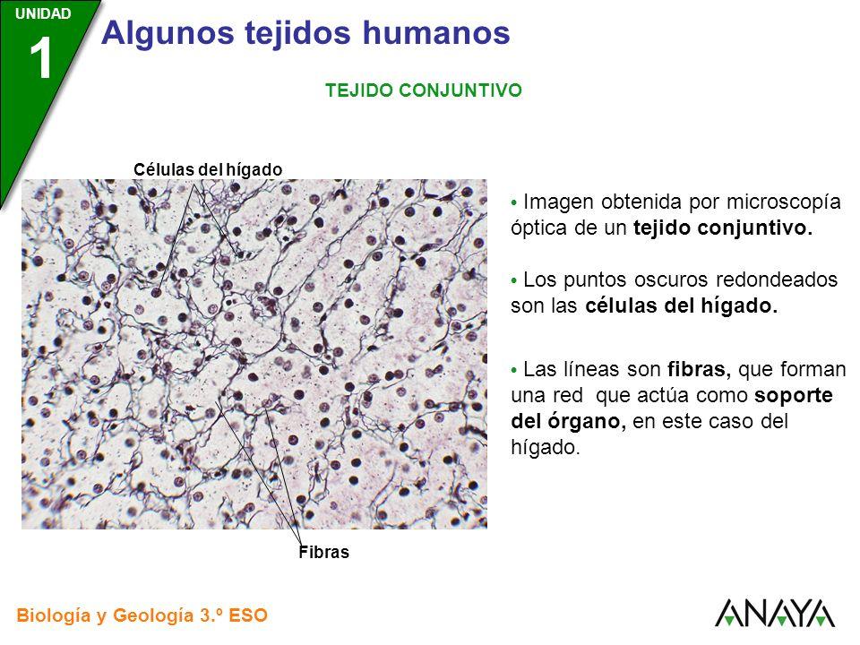 UNIDAD 3 Biología y Geología 3.º ESO UNIDAD 1 Algunos tejidos humanos TEJIDO CONJUNTIVO Imagen obtenida por microscopía óptica de un tejido conjuntivo