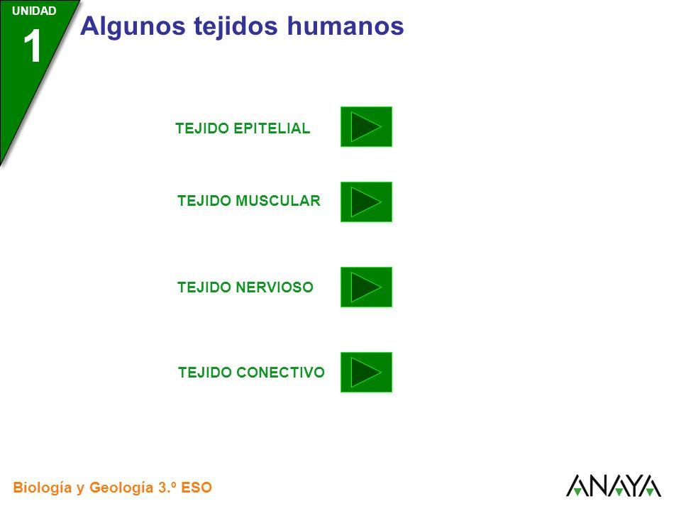 UNIDAD 3 Biología y Geología 3.º ESO UNIDAD 1 Algunos tejidos humanos TEJIDO NERVIOSO TEJIDO EPITELIAL TEJIDO MUSCULAR TEJIDO CONECTIVO