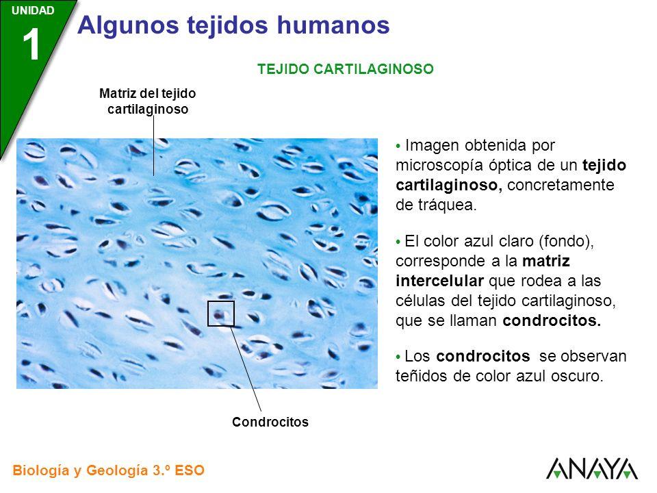 UNIDAD 3 Biología y Geología 3.º ESO UNIDAD 1 Algunos tejidos humanos TEJIDO CARTILAGINOSO Imagen obtenida por microscopía óptica de un tejido cartila