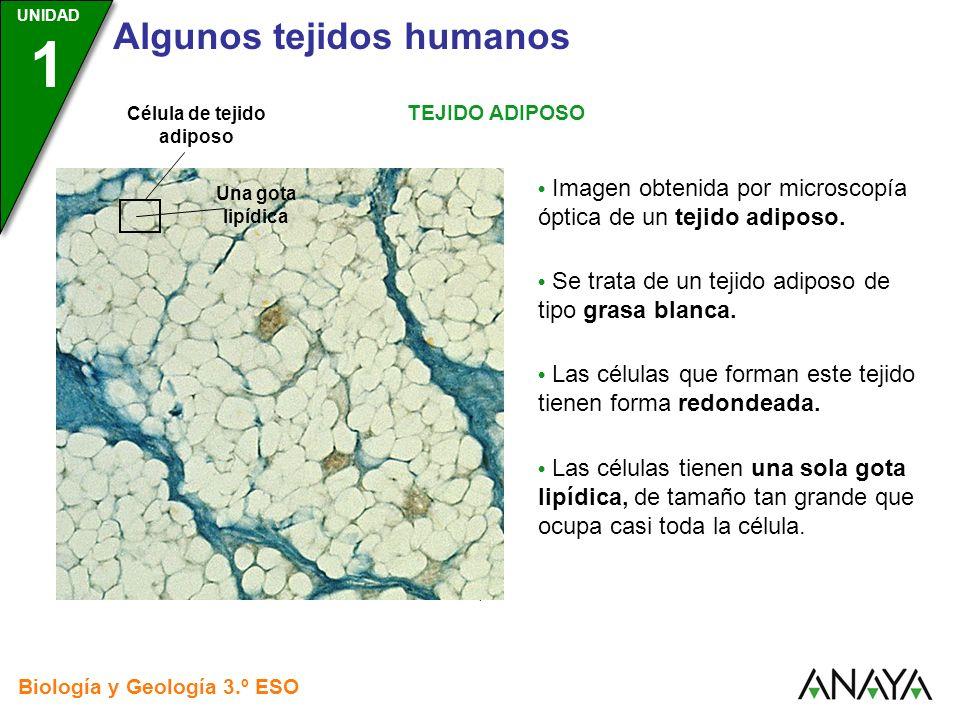 UNIDAD 3 Biología y Geología 3.º ESO UNIDAD 1 Algunos tejidos humanos TEJIDO ADIPOSO Imagen obtenida por microscopía óptica de un tejido adiposo. Se t