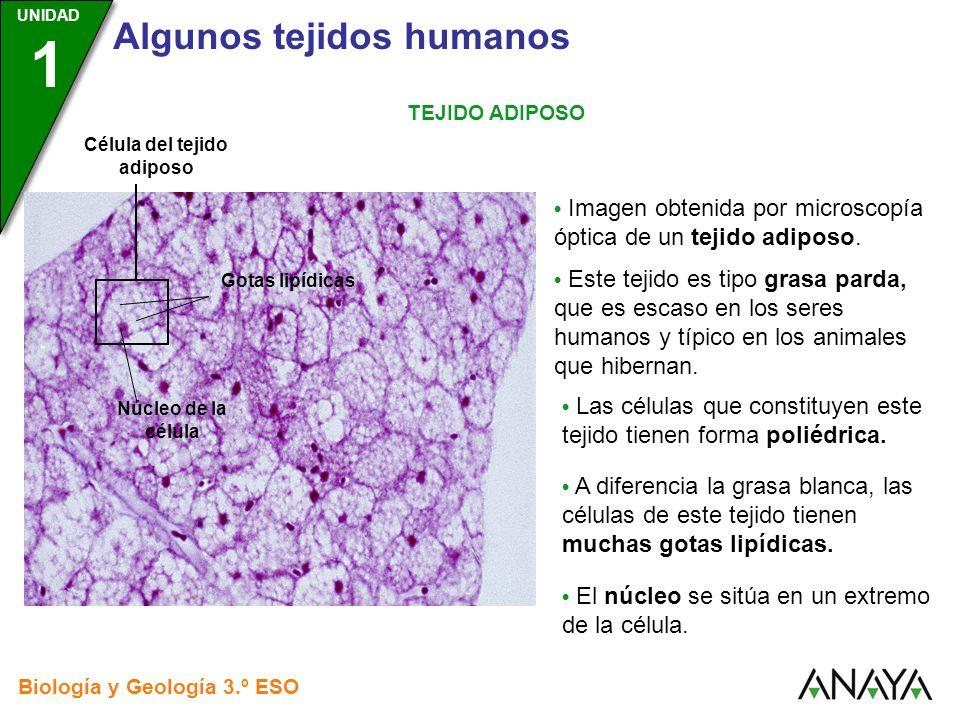 UNIDAD 3 Biología y Geología 3.º ESO UNIDAD 1 Algunos tejidos humanos TEJIDO ADIPOSO Imagen obtenida por microscopía óptica de un tejido adiposo. Este