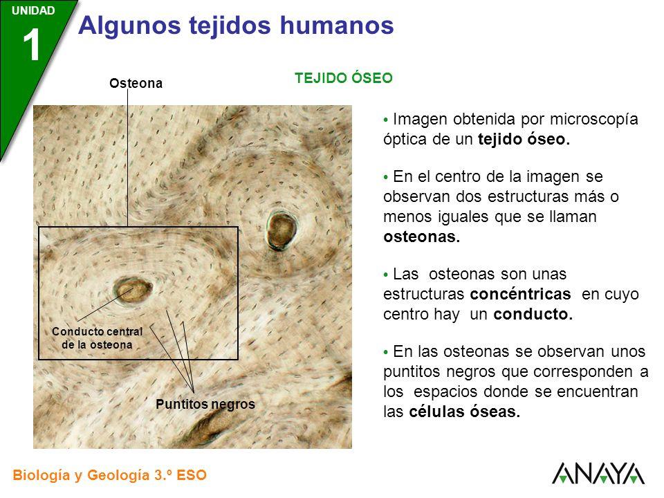 UNIDAD 3 Biología y Geología 3.º ESO UNIDAD 1 Algunos tejidos humanos TEJIDO ÓSEO Imagen obtenida por microscopía óptica de un tejido óseo. En el cent