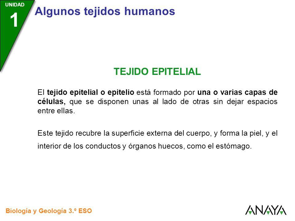 UNIDAD 3 Biología y Geología 3.º ESO UNIDAD 1 Algunos tejidos humanos TEJIDO EPITELIAL El tejido epitelial o epitelio está formado por una o varias ca