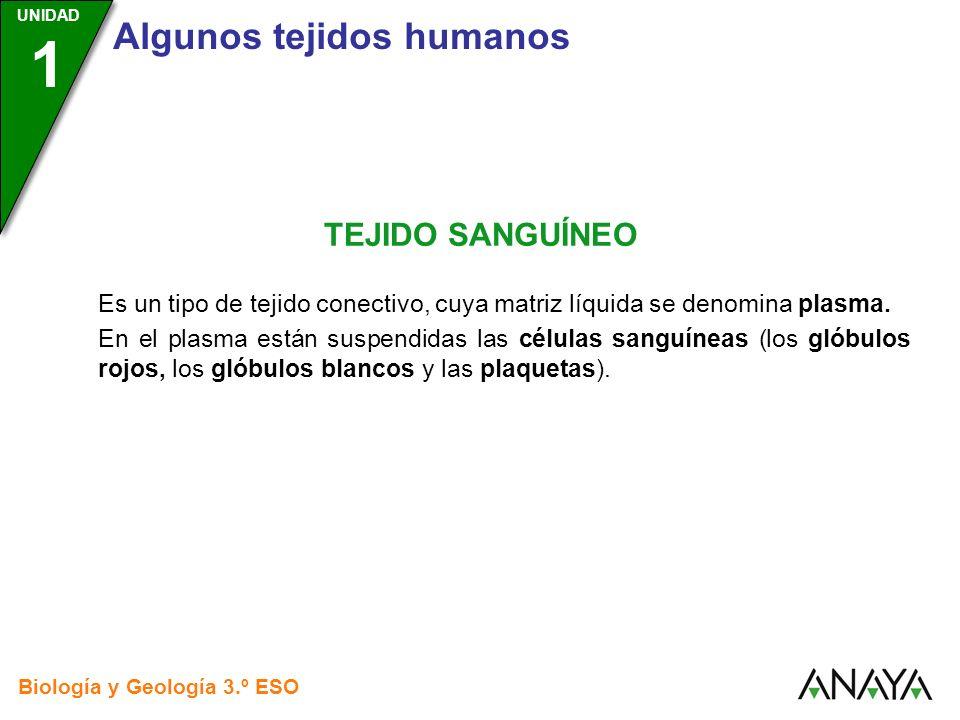 UNIDAD 3 Biología y Geología 3.º ESO UNIDAD 1 Algunos tejidos humanos TEJIDO SANGUÍNEO Es un tipo de tejido conectivo, cuya matriz líquida se denomina
