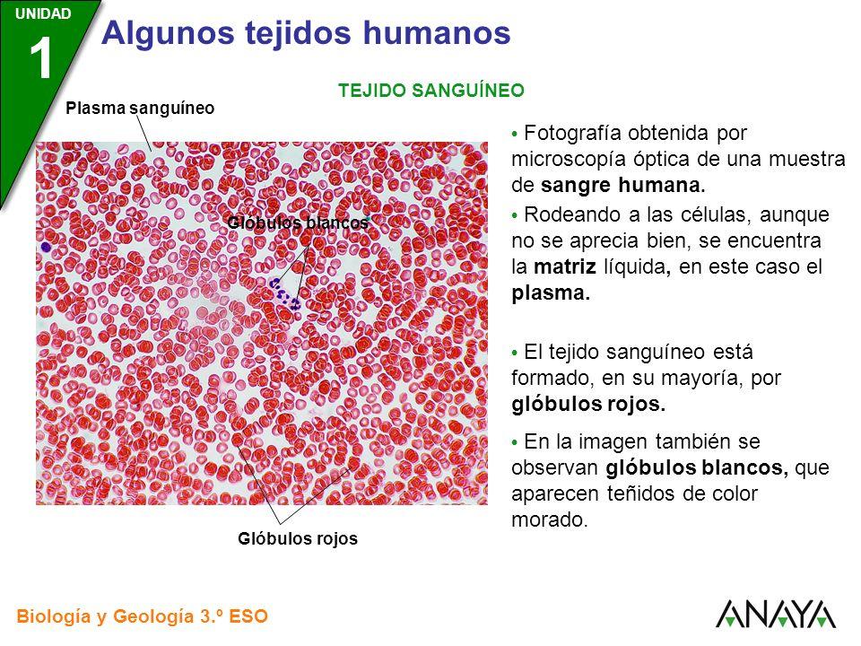 UNIDAD 3 Biología y Geología 3.º ESO UNIDAD 1 Algunos tejidos humanos TEJIDO SANGUÍNEO Fotografía obtenida por microscopía óptica de una muestra de sa
