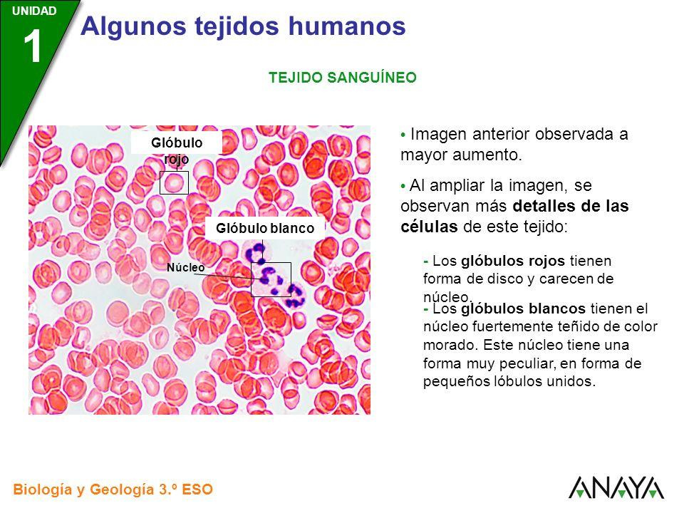 UNIDAD 3 Biología y Geología 3.º ESO UNIDAD 1 Algunos tejidos humanos TEJIDO SANGUÍNEO Glóbulos rojos Imagen anterior observada a mayor aumento. Al am