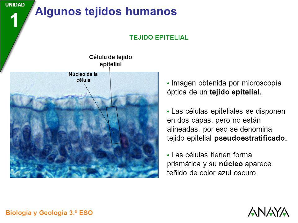 UNIDAD 3 Biología y Geología 3.º ESO UNIDAD 1 Algunos tejidos humanos TEJIDO EPITELIAL Imagen obtenida por microscopía óptica de un tejido epitelial.