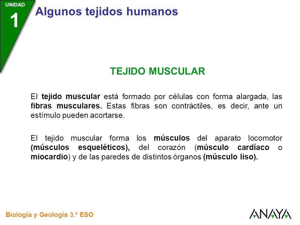 UNIDAD 3 Biología y Geología 3.º ESO UNIDAD 1 Algunos tejidos humanos TEJIDO MUSCULAR El tejido muscular está formado por células con forma alargada,
