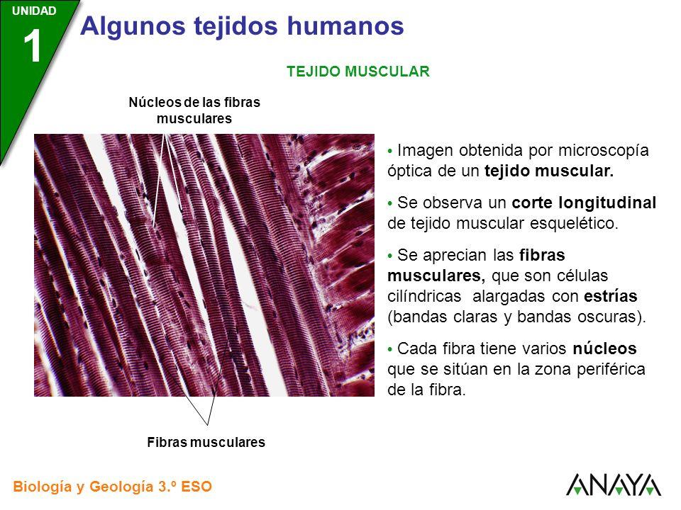 UNIDAD 3 Biología y Geología 3.º ESO UNIDAD 1 Algunos tejidos humanos TEJIDO MUSCULAR Imagen obtenida por microscopía óptica de un tejido muscular. Se