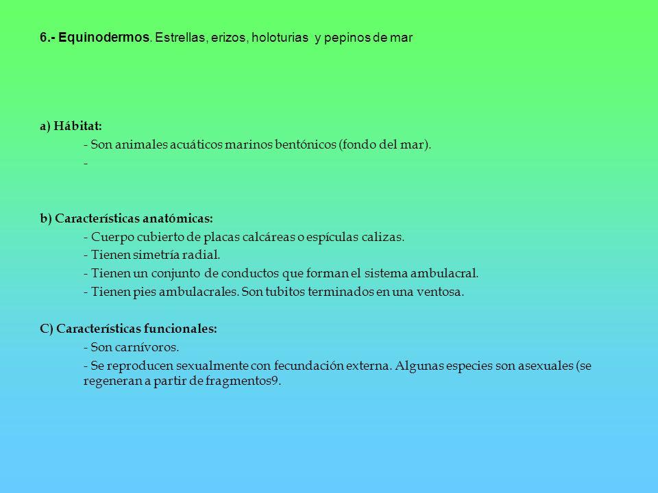 6.- Equinodermos. Estrellas, erizos, holoturias y pepinos de mar a) Hábitat: - Son animales acuáticos marinos bentónicos (fondo del mar). - b) Caracte