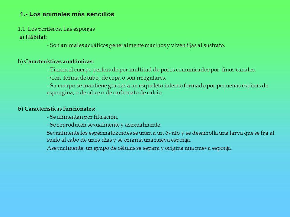 1.- Los animales más sencillos 1.1. Los poríferos. Las esponjas a) Hábitat: - Son animales acuáticos generalmente marinos y viven fijas al sustrato. b