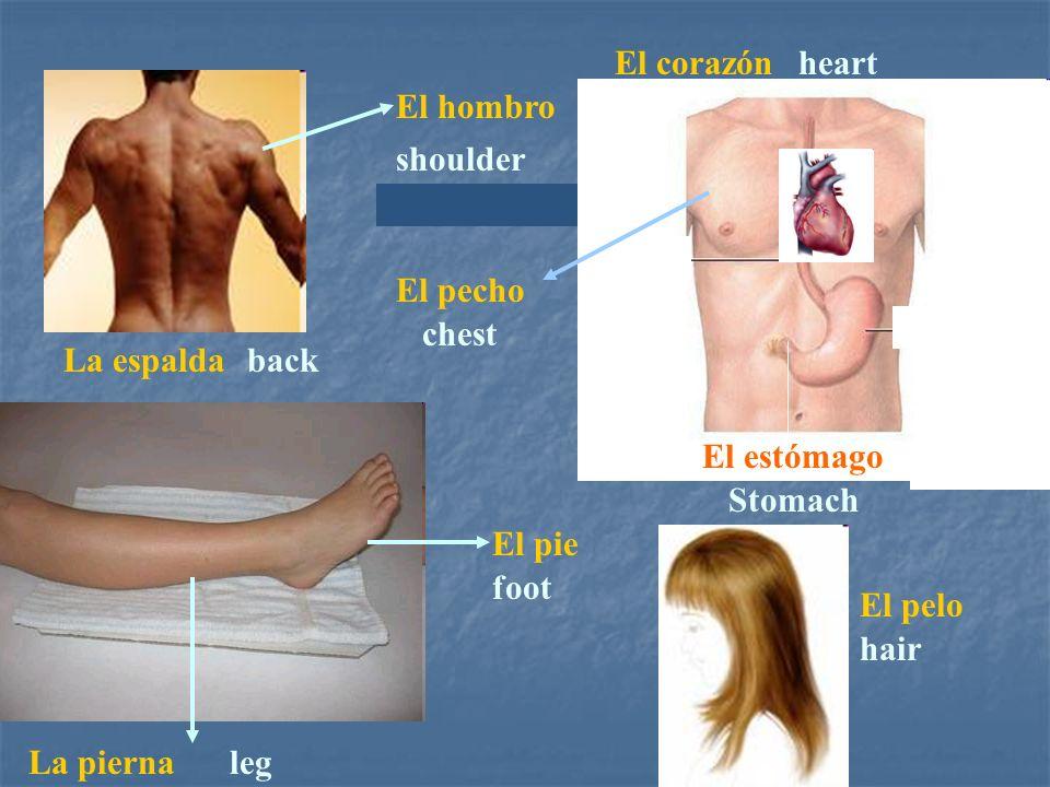 La espaldaback El estómago Stomach hair El pelo El pecho chest El hombro shoulder El pie foot La piernaleg El corazónheart