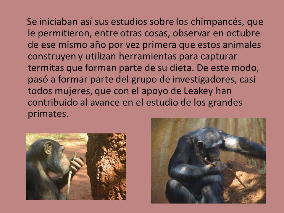 Se iniciaban así sus estudios sobre los chimpancés, que le permitieron, entre otras cosas, observar en octubre de ese mismo año por vez primera que es