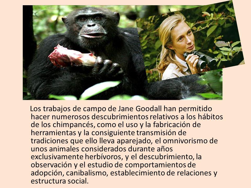 Los trabajos de campo de Jane Goodall han permitido hacer numerosos descubrimientos relativos a los hábitos de los chimpancés, como el uso y la fabric