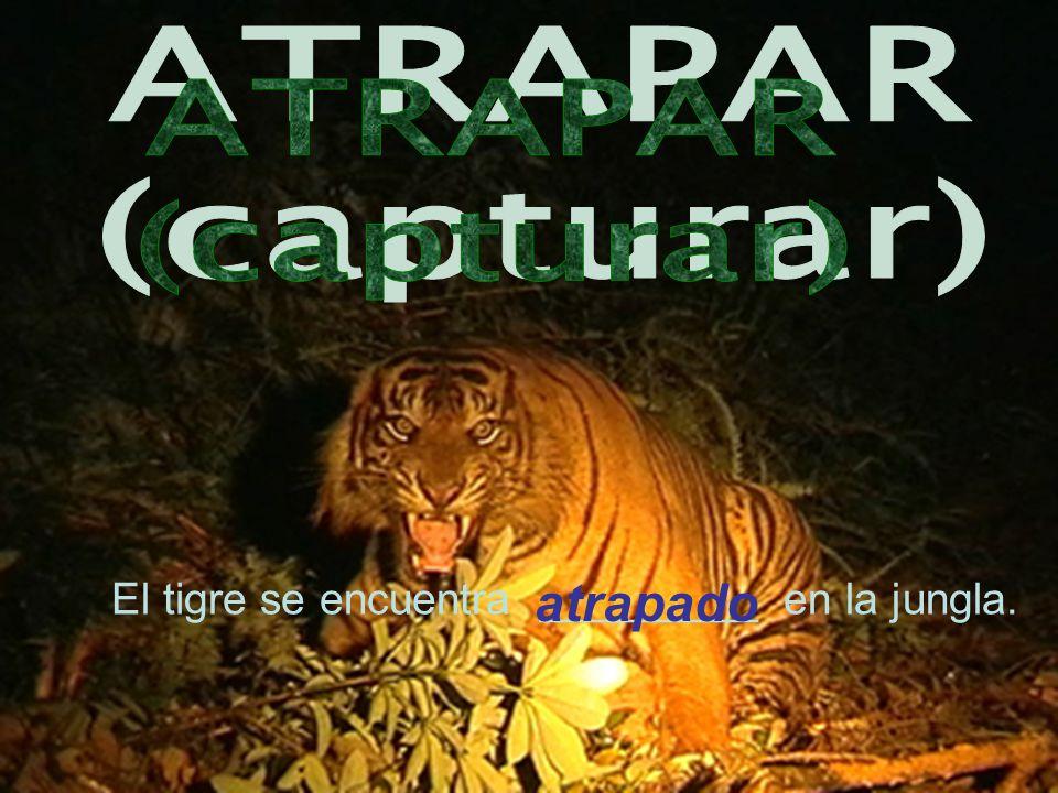 El tigre se encuentra _________ en la jungla. atrapado