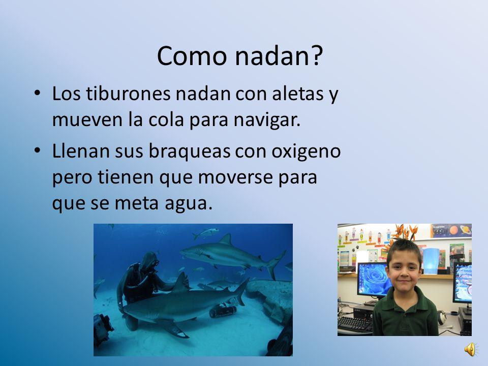 Como nadan.Los tiburones nadan con aletas y mueven la cola para navigar.