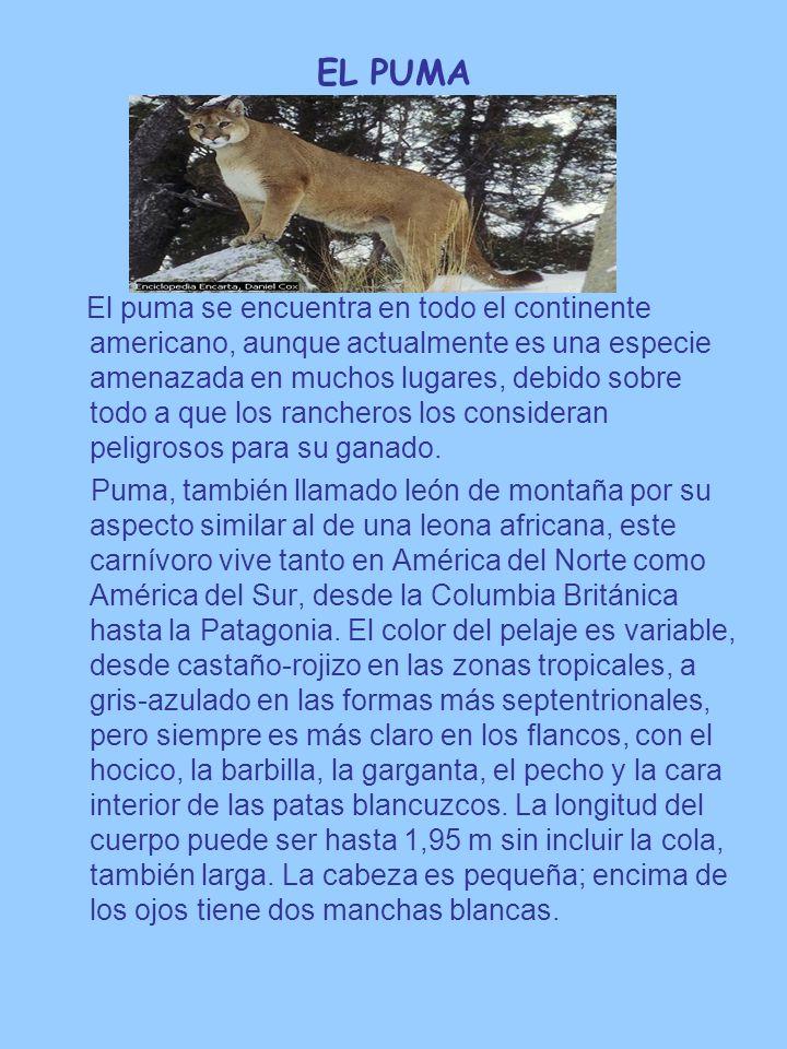 EL PUMA El puma se encuentra en todo el continente americano, aunque actualmente es una especie amenazada en muchos lugares, debido sobre todo a que l