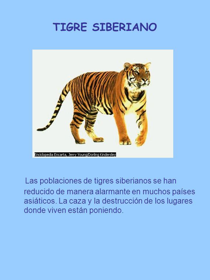 TIGRE SIBERIANO Las poblaciones de tigres siberianos se han reducido de manera alarmante en muchos países asiáticos. La caza y la destrucción de los l