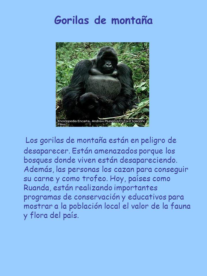 Gorilas de montaña Los gorilas de montaña están en peligro de desaparecer. Están amenazados porque los bosques donde viven están desapareciendo. Ademá