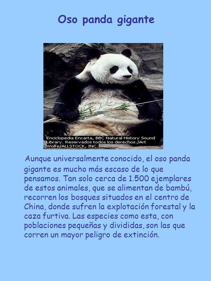 Oso panda gigante Aunque universalmente conocido, el oso panda gigante es mucho más escaso de lo que pensamos. Tan solo cerca de 1.500 ejemplares de e