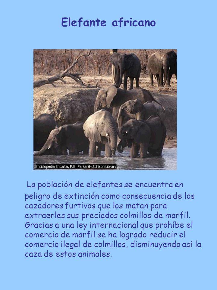 Elefante africano La población de elefantes se encuentra en peligro de extinción como consecuencia de los cazadores furtivos que los matan para extrae