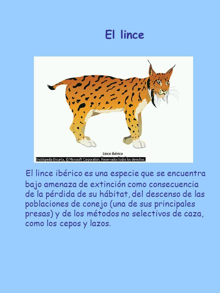 El lince El lince ibérico es una especie que se encuentra bajo amenaza de extinción como consecuencia de la pérdida de su hábitat, del descenso de las