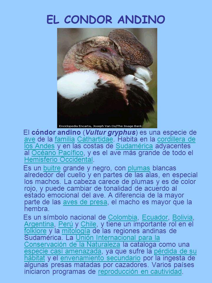 EL CONDOR ANDINO El cóndor andino (Vultur gryphus) es una especie de ave de la familia Cathartidae. Habita en la cordillera de los Andes y en las cost
