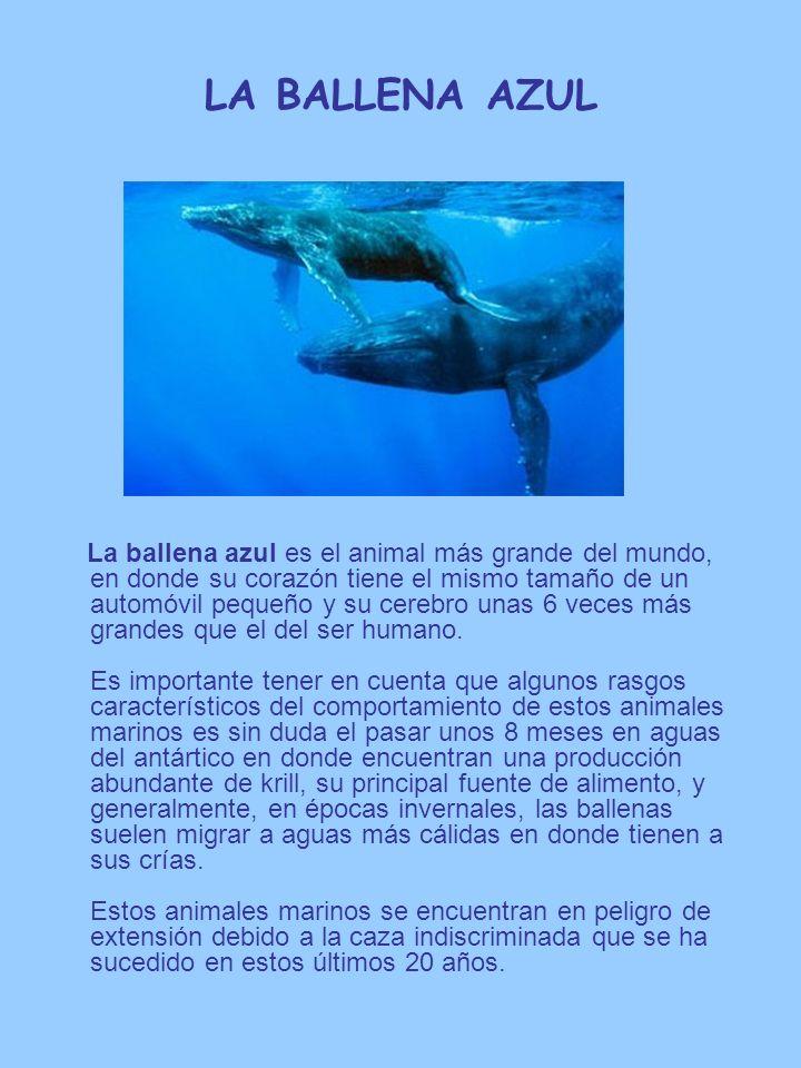 LA BALLENA AZUL La ballena azul es el animal más grande del mundo, en donde su corazón tiene el mismo tamaño de un automóvil pequeño y su cerebro unas