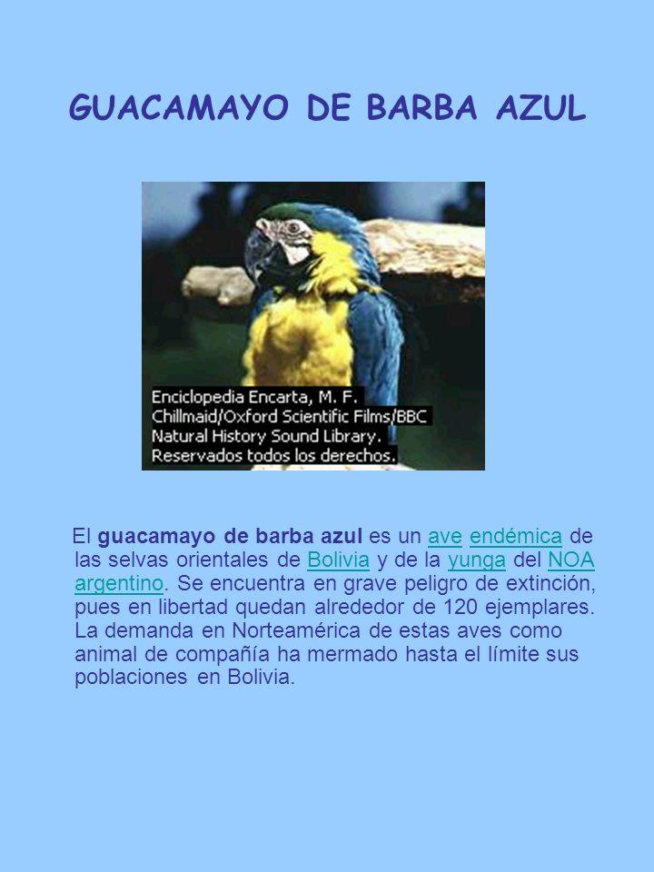 GUACAMAYO DE BARBA AZUL El guacamayo de barba azul es un ave endémica de las selvas orientales de Bolivia y de la yunga del NOA argentino. Se encuentr