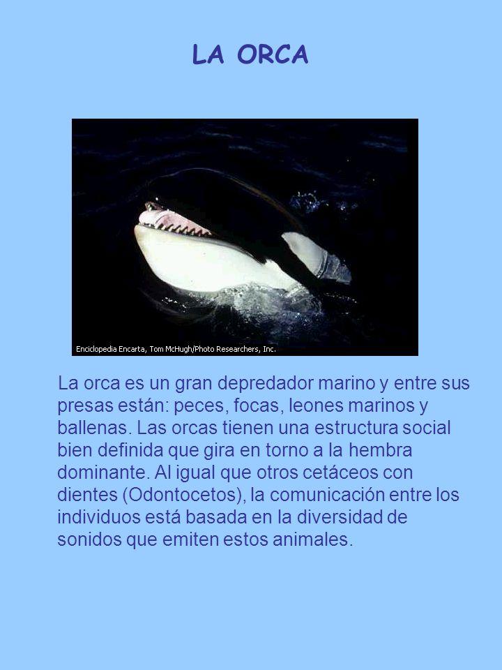LA ORCA La orca es un gran depredador marino y entre sus presas están: peces, focas, leones marinos y ballenas. Las orcas tienen una estructura social