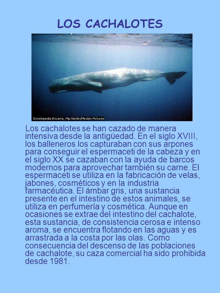 LOS CACHALOTES Los cachalotes se han cazado de manera intensiva desde la antigüedad. En el siglo XVIII, los balleneros los capturaban con sus arpones