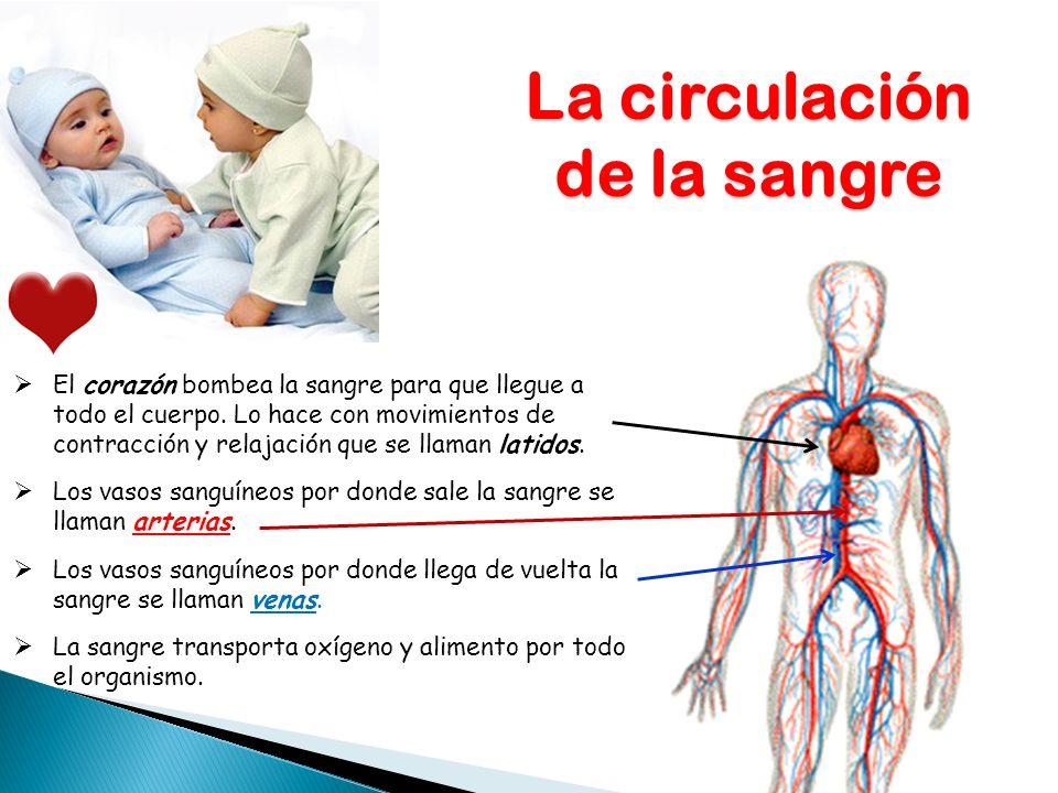 La circulación de la sangre El corazón bombea la sangre para que llegue a todo el cuerpo. Lo hace con movimientos de contracción y relajación que se l