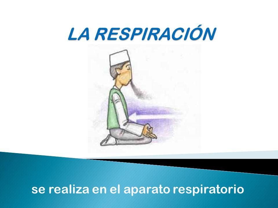 se realiza en el aparato respiratorio