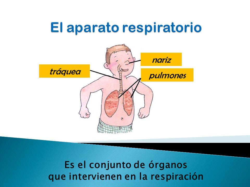 nariz pulmones tráquea Es el conjunto de órganos que intervienen en la respiración