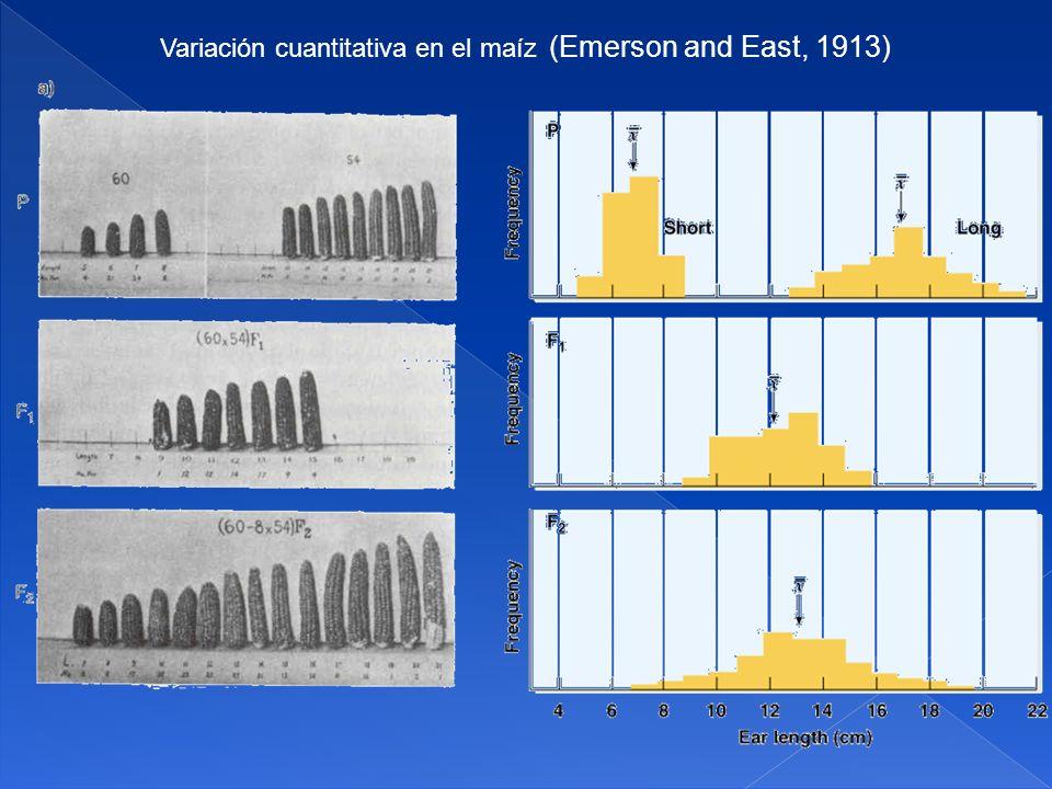 Teoría de los factores poligénicos Sin embargo los experimentos no demostraron que las diferencias hereditarias entre las líneas puras se debían a genes mendelianos.
