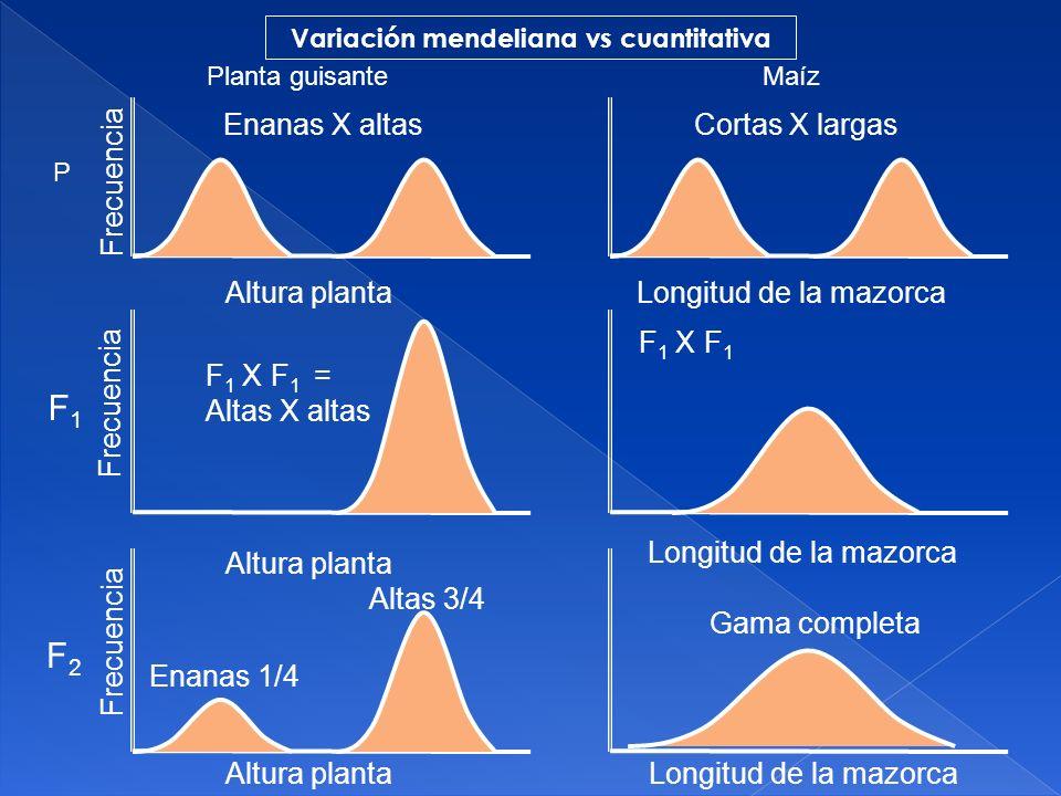 La variación continua y la distribución normal se deben a dos causas: VARIACIÓN CONTINUA Y DISTRIBUCIÓN NORMAL 1.- La segregación simultánea de muchos pares de genes: son caracteres poligénicos.