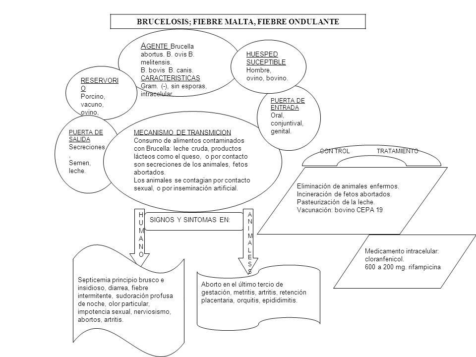 BRUCELOSIS; FIEBRE MALTA, FIEBRE ONDULANTE A GENTE Brucella abortus. B. ovis B. melitensis. B. bovis B. canis. CARACTERISTICAS Gram. (-), sin esporas,