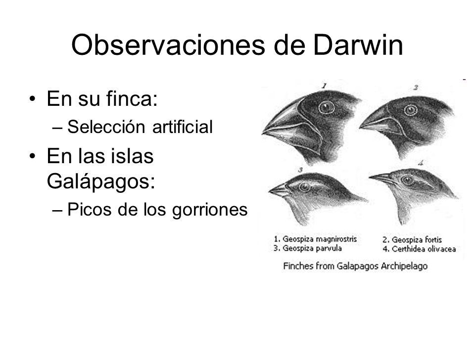 Observaciones de Darwin En su finca: –Selección artificial En las islas Galápagos: –Picos de los gorriones