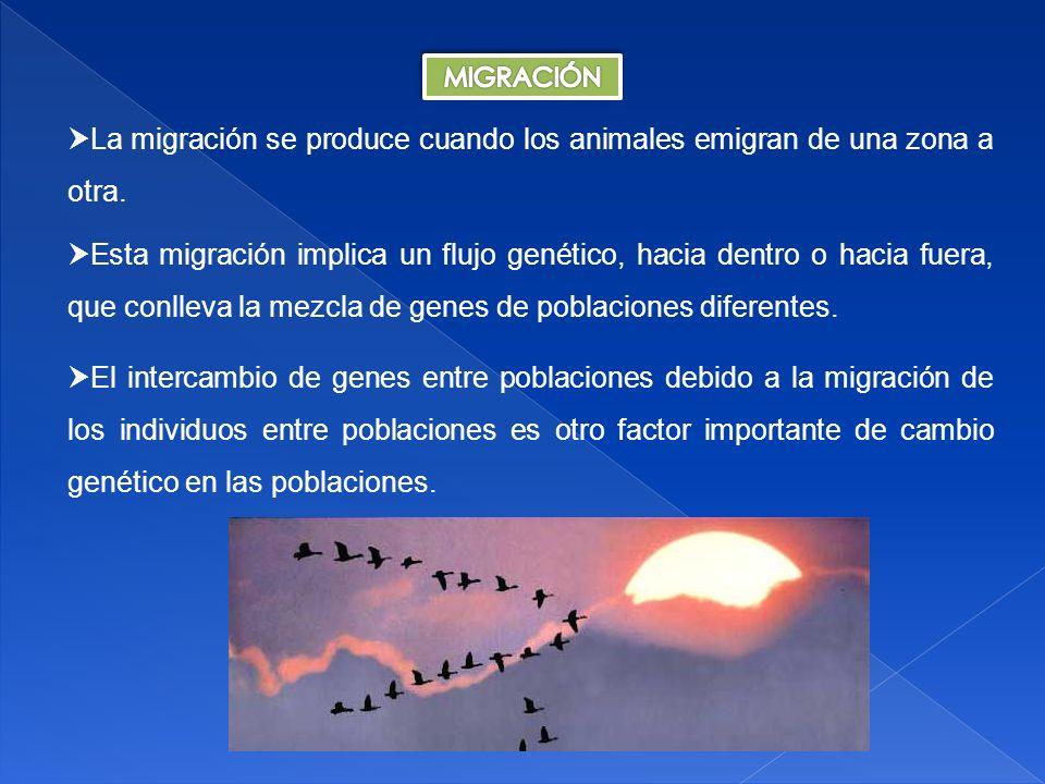 Cuanto mayor sea la diferencia en frecuencias alélicas entre los individuos residentes y los inmigrantes, y cuanto mayor sea el número de inmigrantes, mayor será el efecto de la migración en cambiar la constitución genética de la población residente.