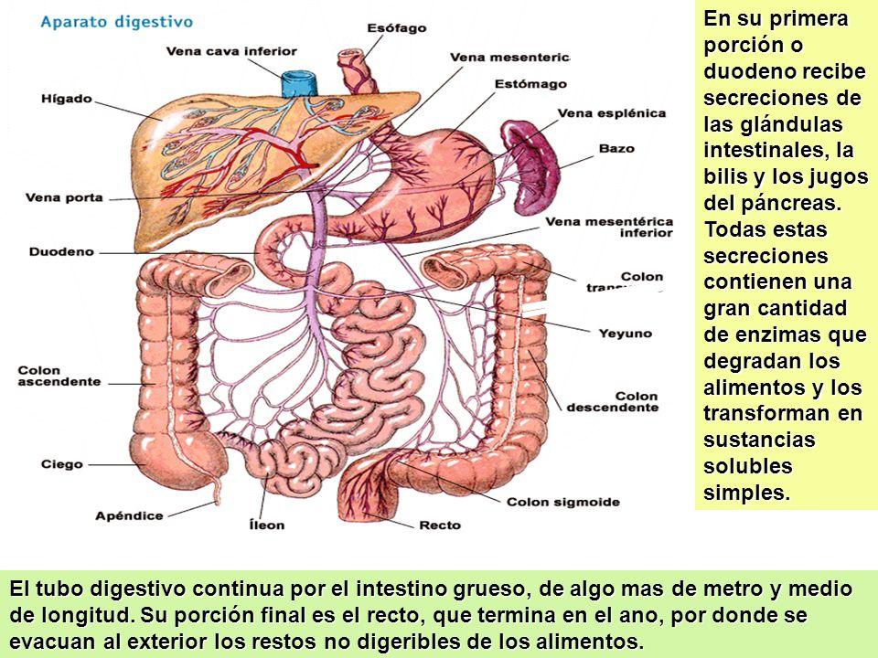 31 El Bazo El bazo pesa normalmente de 100 a 250 g. Funciona como dos órganos. La pulpa blanca es parte del sistema de defensa (inmune) y la pulpa roj