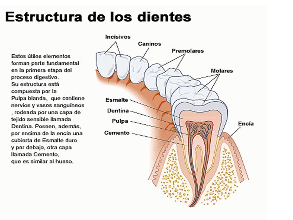 27 Glándulas anejas Páncreas: Es una glándula íntimamente relacionada con el duodeno, sus secreciones (Jugo pancreático) es de gran importancia en la digestión de los alimentos.