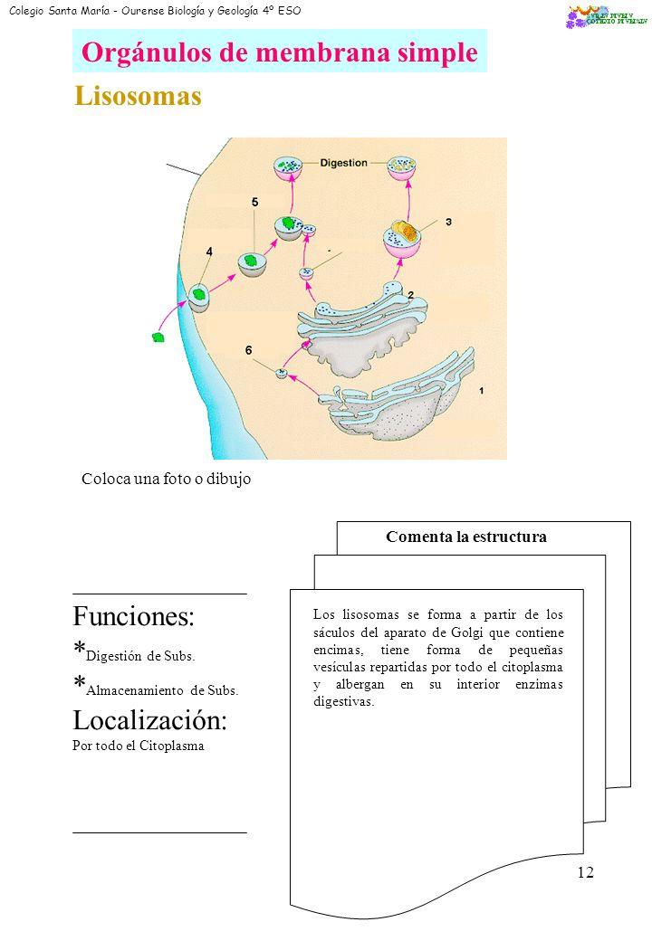10 Orgánulos de membrana simple Reticulo endoplasmático: Tipos Coloca una foto o dibujo de cada tipo Tipos: R.E.R.: Retículo endoplasmático rugoso. Co