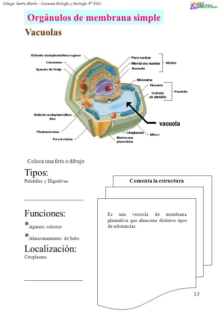 11 Aparato de Golgi Coloca una foto o dibujo Funciones: * Almacenamiento de Subs. * Secreción de Subs. * Intervención en la maduración de Subs. Locali
