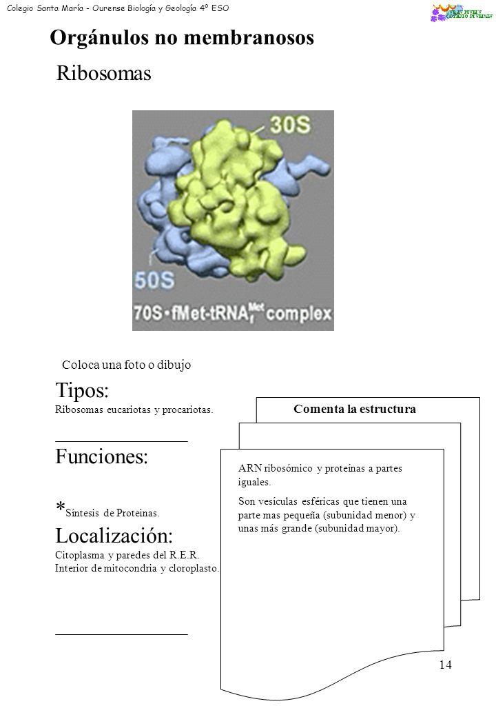 12 Lisosomas Coloca una foto o dibujo Funciones: * Digestión de Subs. * Almacenamiento de Subs. Localización: Por todo el Citoplasma Comenta la estruc