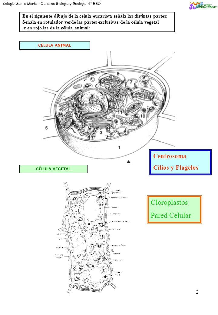 0 Colegio Santa María - Ourense Biología y Geología 4º ESO CITOLOGÍA: Parte de la biología que estudia la estructura y función de la Célula * Morfolog