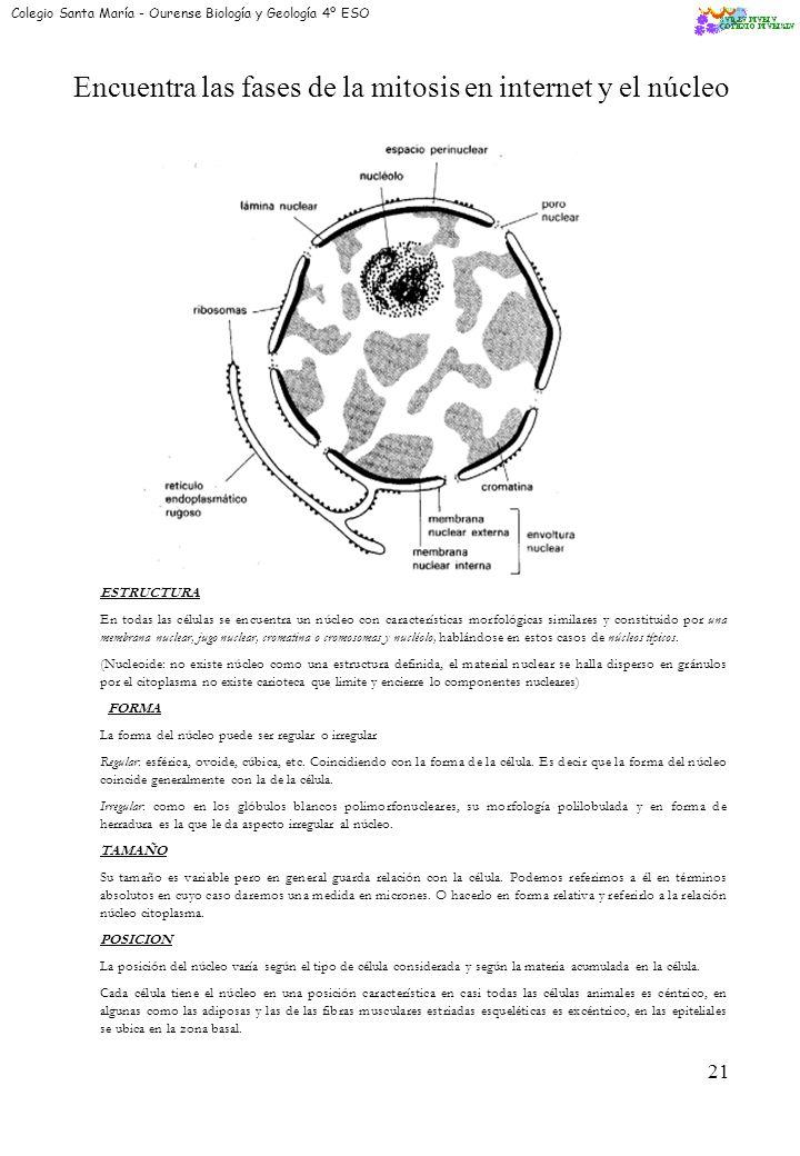 19 La división celular por MITOSIS ¿Qué es la mitosis? La mitosis es un proceso de reproducción celular. Es la más frecuente de todas: amitosis, meios