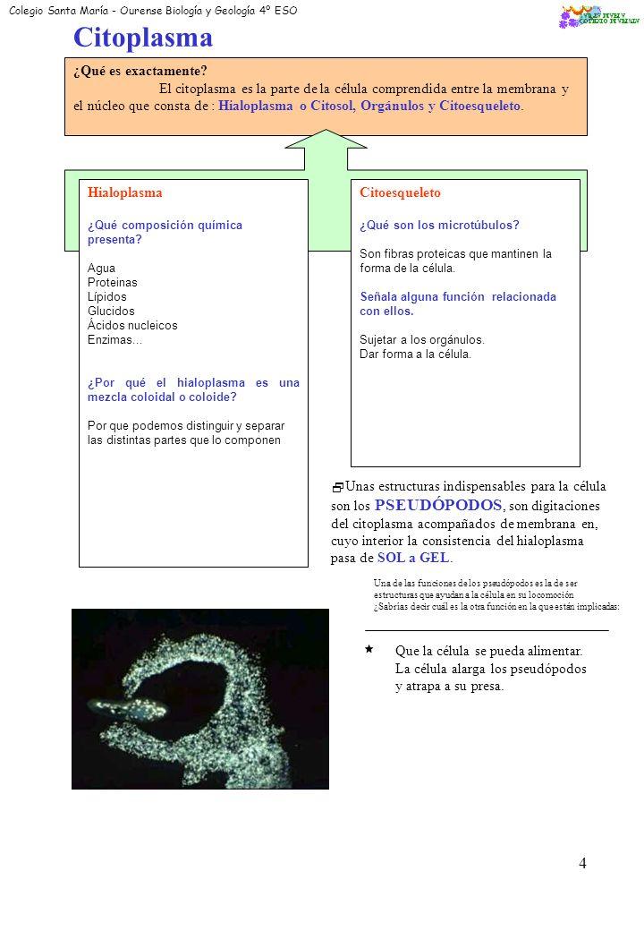 3 Membrana Plasmática: Cita su composición química: * Colesterol *Fosfolípidos *Esfingolípidos *Glucoproteínas Dibuja su estructura molecular: Según el modelo de Singer y Nicholson; la membrana es una bicapa de foslípidos (lípidos) entre las que se encuentran las moléculas proteicas.