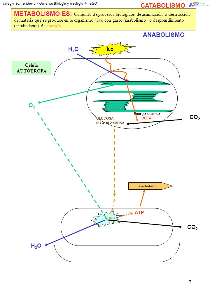 6 CLOROPLASTOS Realiza el dibujo de una mitocondria o pega una foto.