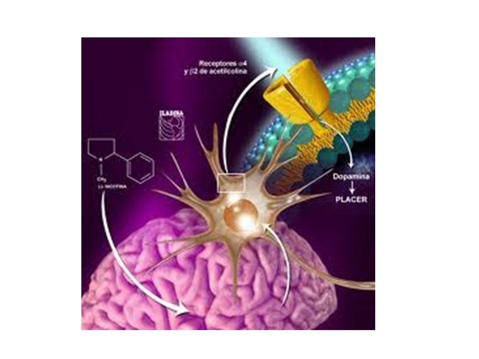Mecanismo de acción de la nicotina en el Sistema Nervioso Central La nicotina se une de forma preferente a los receptores nicotínicos de acetilcolina (nACh) en el SNC; el receptor principal es el 4 2 del área tegmental ventral (ATV) La nicotina, al unirse al receptor nicotínico 4 2 en el ATV, produce una liberación de dopamina en el núcleo accumbens (nAcc) relacionado con el área de recompensa 4 2 2 2 4 Receptor nicotínco 4 2 Sistema mesolímbico Nicotina Dopamina